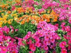 Long Blooming Annual Flowers - 7 great annual winter flowers bayer advanced