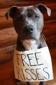 american pit bull terrier lab mix best 25 blue pitbull ideas on pinterest blue pits blue nose