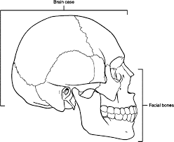 parts of skull picture sketch drawing coloring page wecoloringpage