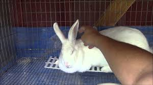 why are there scabs in my rabbits ears youtube