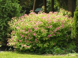 color gold mound spirea waterwise approach pinterest border