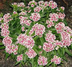 dianthus flower dianthus plant care and collection of varieties garden org