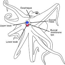 cephalopod research kyle taitt