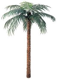 coconut palm trees 3 sizes 9 12 and 15