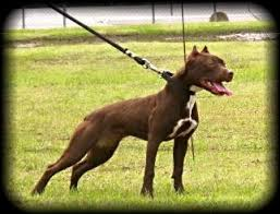 ukc american pitbull terrier chocolate red nose working american pit bull terrier females