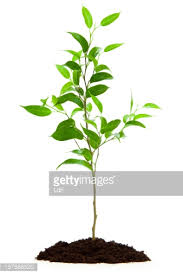 small tree isolated with soil stock photo getty images
