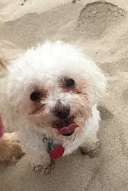 bichon frise uae pet travel testimonials pet shipping reviews happy tails travel