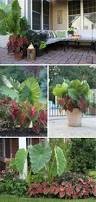 Learn More About Full Sun by Learn More About The Elephant Ear Plant It U0027s Giant Caladium Type