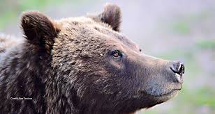 Washington Wildlife Tours images Yellowstone tours guided tours of yellowstone from jackson hole jpg