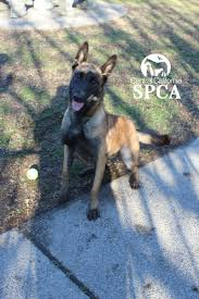 belgian shepherd rescue california homeless dog picked for search and rescue training central