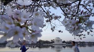 cherry blossoms it u0027s nearly time to head to washington cnn travel