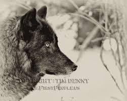 wolf photographs by tim denny oneida nation photographer