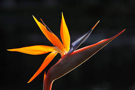 birds of paradise flower file bird of paradise flower jpg wikimedia commons