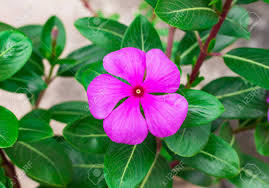 vinca flowers beautiful pink vinca flowers madagascar periwinkle stock photo
