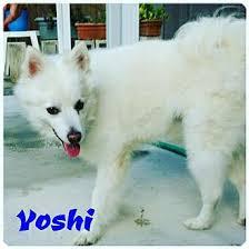 american eskimo dog rescue colorado bradenton fl american eskimo dog meet yoshi of miami fl a