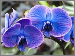 blue and purple orchids blue orchids by mogrianne on deviantart