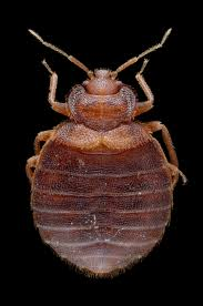 What Does Bed Bugs Look Like This Is What Bed Bugs Look Like Get Debedbugged