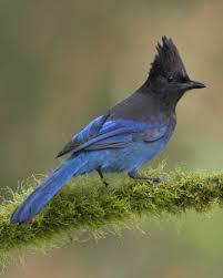 steller u0027s jay audubon field guide