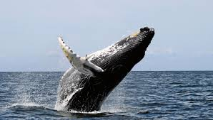humpback whales form mysterious super groups off the coast of
