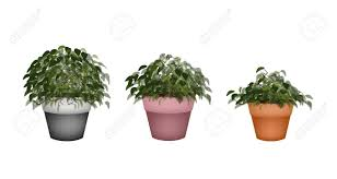 houseplant illustration of three beautiful bonsai tree or small