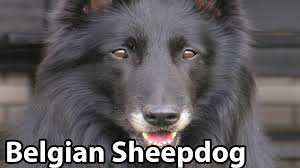 belgian sheepdog guard dog the right companion belgian sheepdog youtube