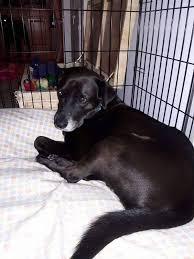 affenpinscher lab mix lost dogs in macon ga lost my doggie