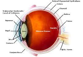 Surface Anatomy Eye Anatomy Of The Eye Eye Physicians Of Lakewood David R Benson