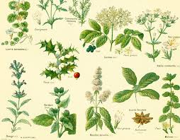 herb chart image result for botanical identification charts identity