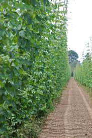 Hops On Trellis Here U0027s How You Know Hops Are Ready To Grow Cones Rogue Farms