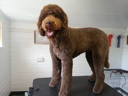 Dog Grooming Styles Haircuts Dog Grooming Gallery Images Puppies And Dogs Helsby Runcorn