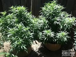best light for weed seedlings top 10 outdoor marijuana seeds