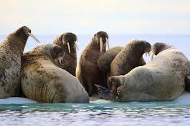 baffin island walrus u0026 bowheads arctic eco tour eagle eye tours