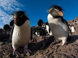 rockhopper penguins argentina