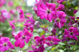 10 pretty summer clematis to grow gardenersworld com