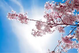 blossom trees uw seattle cherry blossom tree album on imgur