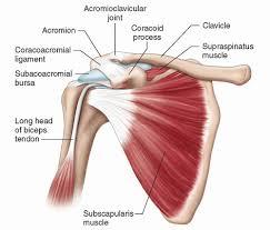 Subscapularis And Supraspinatus Shoulder Radiology Key