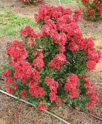 Decorative Shrubs Buy Ornamental Shrubs Now Lagerstroemia Enduring Summer Red