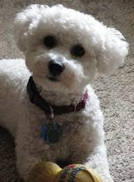bichon frise names male 104 best bichons images on pinterest bichons puppies and bichon