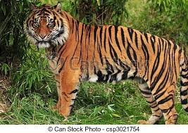 tiger in the jungle bengal tiger spotted in the stock