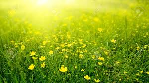 field of spring flowers and sunlight stock photo picture and