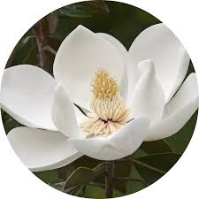 magnolia flower essential oil living libations