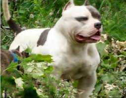 american pitbull terrier in india muglestons pitbull farm pitbulls for sale pit bulls for sale