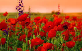 poppies flowers poppies flowers wallpaper hd desktop background