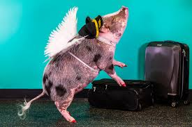 Comfort Pet Certification Meet San Francisco Airport U0027s New Therapy Pig People Com