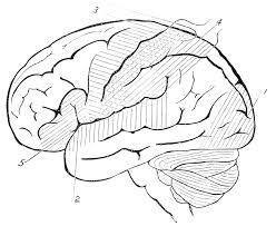 Brain Anatomy Coloring Book Human Brain Coloring Pages Coloring Brain Coloring Page