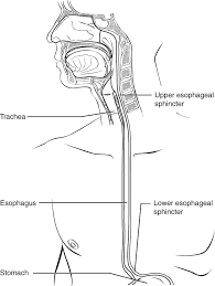 Anatomy And Physiology Of Speech The Mouth Pharynx And Esophagus Anatomy And Physiology