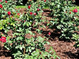 choosing the best mulch for roses