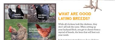 Guide To Raising Backyard Chickens by Oh Lardy U0027s Guide To Keeping Backyard Chickens Oh Lardy