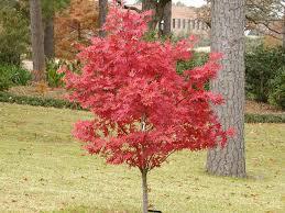 japanese maple bloodgood 10 pot hello hello plants garden
