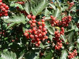 free picture tree berries